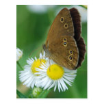 butterfly&daisies postal