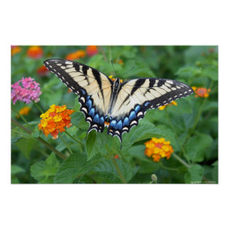 Butterfly - Eastern Tiger Swallowtail Poster