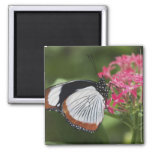 Butterfly from Africa 2 Inch Square Magnet