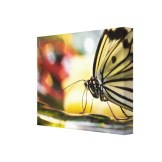 Butterfly in Dish - Feeding Time Canvas Print