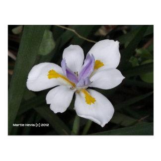 Butterfly Iris Postcard