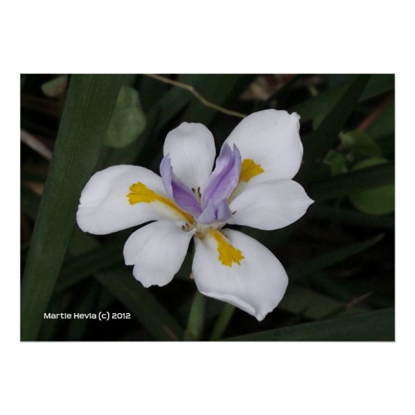Butterfly Iris Posters