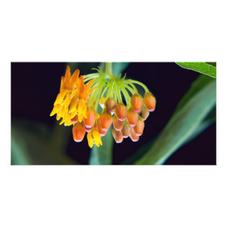 Butterfly Milkweed Buds and Blooms Picture Card