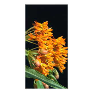 Butterfly Milkweed Florets and Buds on Black Card