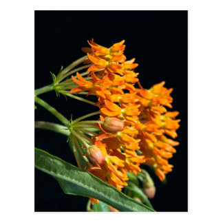 Butterfly Milkweed Florets and Buds on Black Postcard