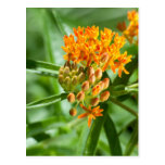 Butterfly Milkweed Flower and Foliage Postcard