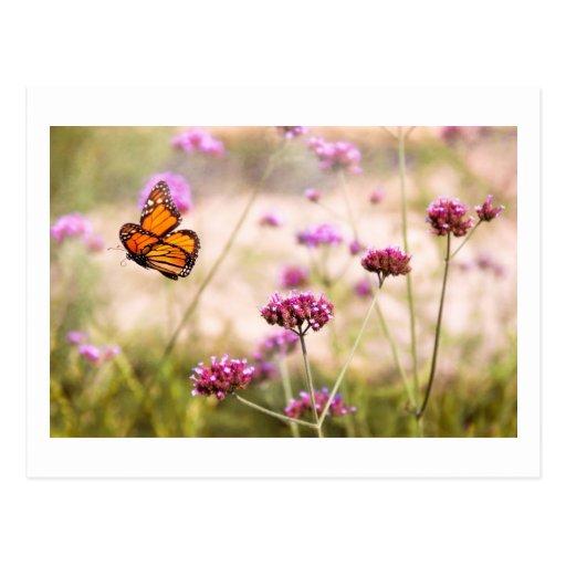 Butterfly - Monarach - The sweet life Postcard