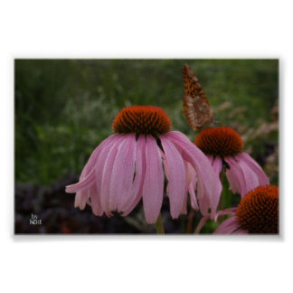 butterfly on coneflower poster