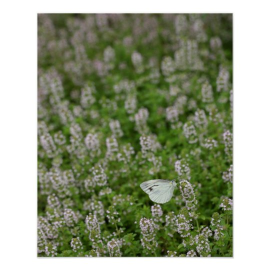 Butterfly on Creeping Thyme Poster
