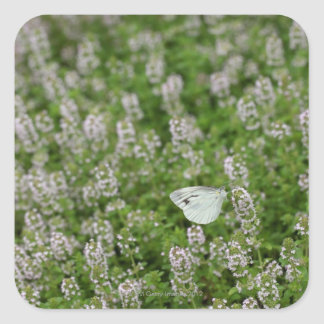 Butterfly on Creeping Thyme Square Stickers