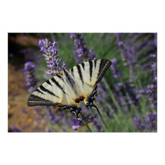 Butterfly on Lavender Print