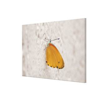 Butterfly on wall, Gauteng Province, South Canvas Print