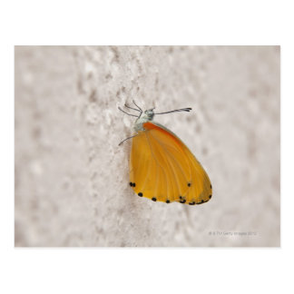 Butterfly on wall, Gauteng Province, South Postcard