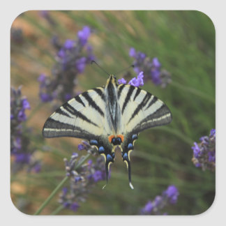 Butterfly - Papilio machaon on flowering lavender Square Sticker