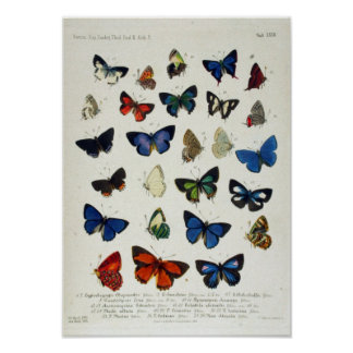 Butterfly Vintage Naturalist Educational Poster