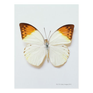 Butterfly with wingspread, found in regions of Asi Postcard