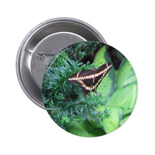 Butterly Swallowtail negro en Hosta Pin