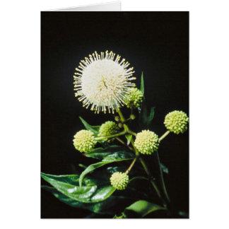Buttonbush Card