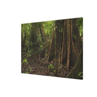 Buttress Roots. Rainforest, Mapari Rupununi, Canvas Prints