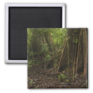 Buttress Roots. Rainforest, Mapari Rupununi, Refrigerator Magnet
