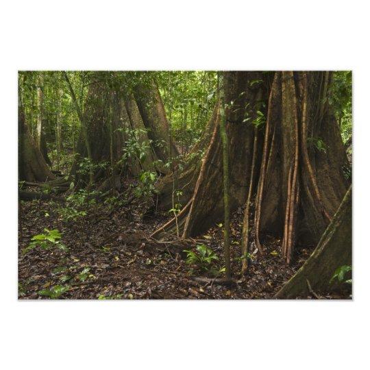 Buttress Roots. Rainforest, Mapari Rupununi, Photo Print