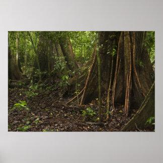 Buttress Roots. Rainforest, Mapari Rupununi, Posters