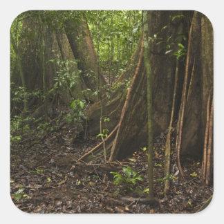 Buttress Roots. Rainforest, Mapari Rupununi, Sticker