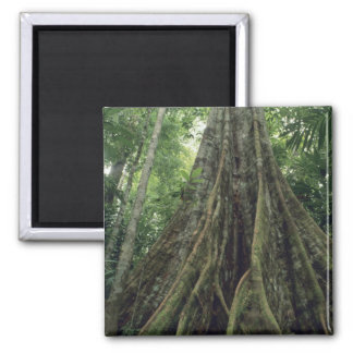 Buttressed tree in rainforest, Corcovado 2 Inch Square Magnet