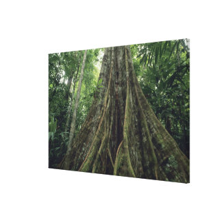 Buttressed tree in rainforest, Corcovado Canvas Print