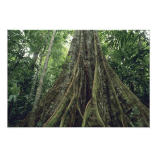 Buttressed tree in rainforest, Corcovado Photo Print