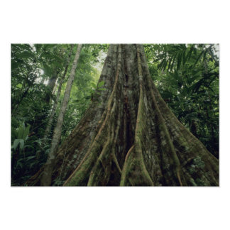 Buttressed tree in rainforest, Corcovado Poster