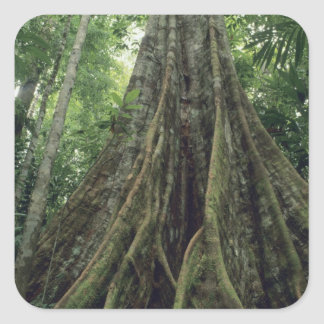 Buttressed tree in rainforest, Corcovado Square Sticker