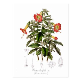Buxifolia de Cantua Tarjetas Postales