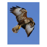 Buzzard  2 post card