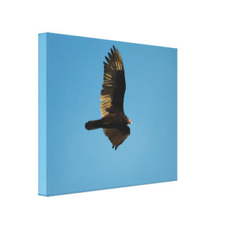 Buzzard in Flight 2 Canvas Print