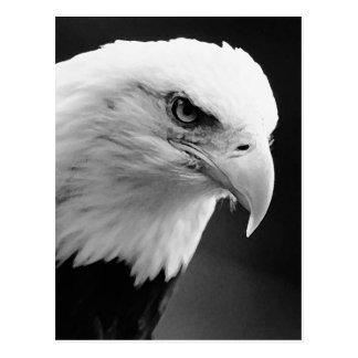 BW Bald Eagle Post Cards