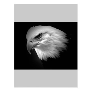 BW Bald Eagle Postcard