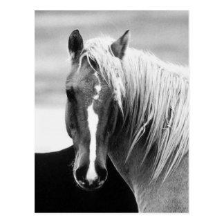 BW Horse Portrait Postcard