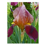 BW- Marroon and Pink Iris Postcard