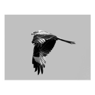 BW Version: Red kite (Rotmilan) in flight Postcard