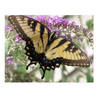 BZ- Swallowtail Butterfly  Postcard