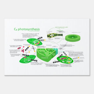 C4 Photosynthesis Diagram Lawn Sign