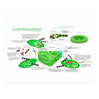 C4 Photosynthesis Diagram Postcard