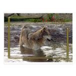 c-2011-grey-wolf-005 postcards