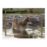 c-2011-grey-wolf-005 tarjetas postales