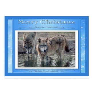 c-2011-grey-wolf-006 postcard