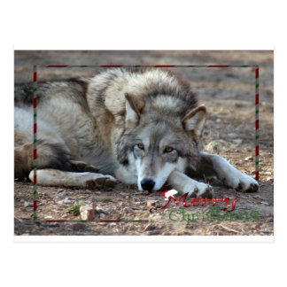 c-2011-grey-wolf-009 postcard
