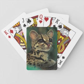CA, Central Panama, Soberania NP, Margay Playing Cards
