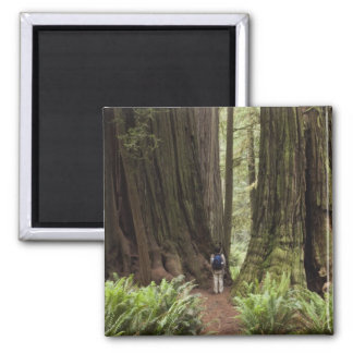 CA, Jedediah Smith Redwoods State Park, 2 Inch Square Magnet