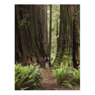 CA, Jedediah Smith Redwoods State Park, Postcard